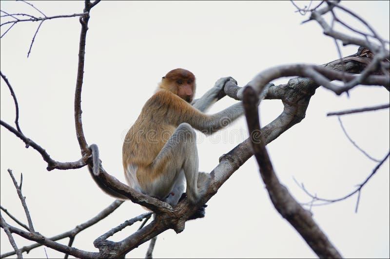 猴子象鼻 免版税库存照片