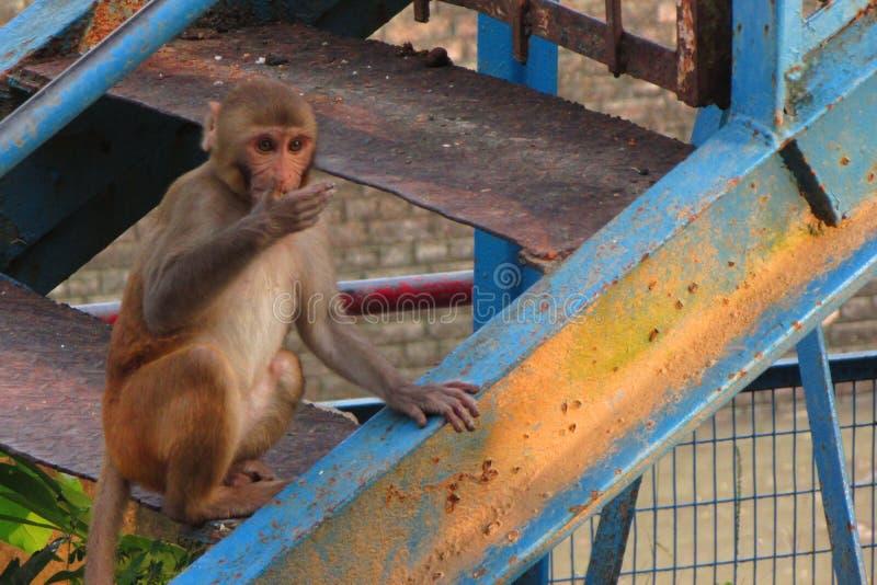 猴子,坐的猴子 图库摄影