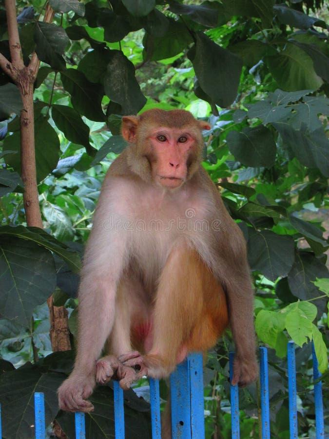 猴子,坐的猴子 免版税库存图片