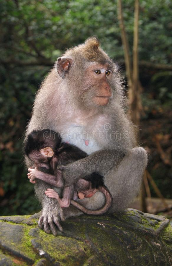 猴子 野生动物的情感 免版税库存照片
