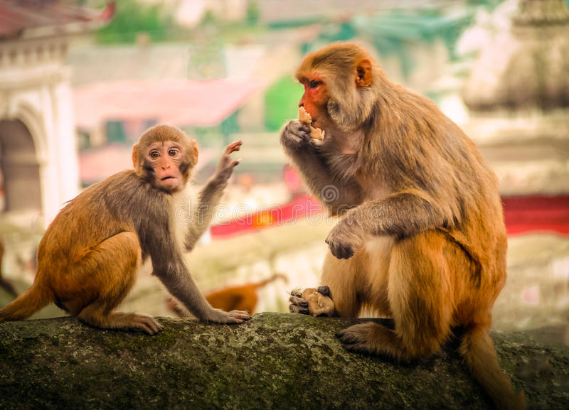 Download 猴子 库存图片. 图片 包括有 照片, 加德满都, beautifuler, 尼泊尔, 红色, 场面, 理想 - 62528679
