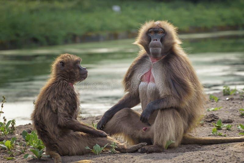 猴子gelada,Theropithecus gelada,出血心脏猴子,gelada狒狒画象  通信男性和女性 免版税库存图片