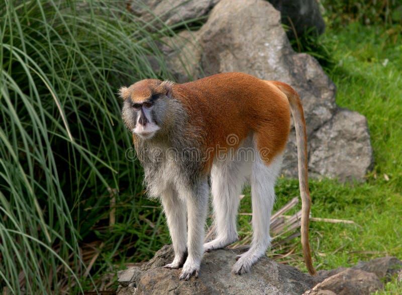 猴子patas 免版税库存图片