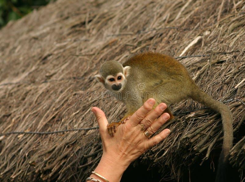 猴子squirell 免版税库存图片