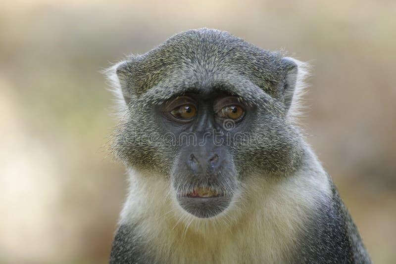 猴子sykes 免版税库存照片
