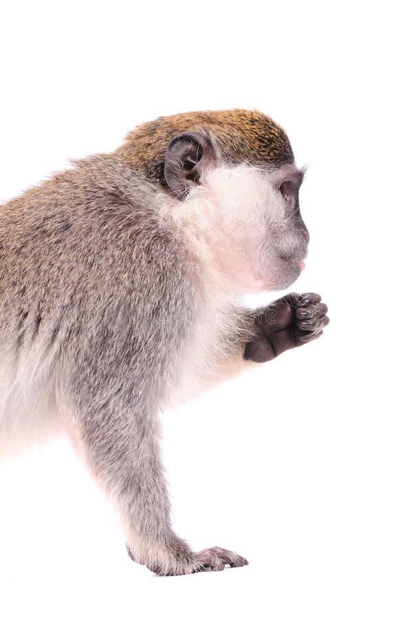 猴子vervet白色 库存照片