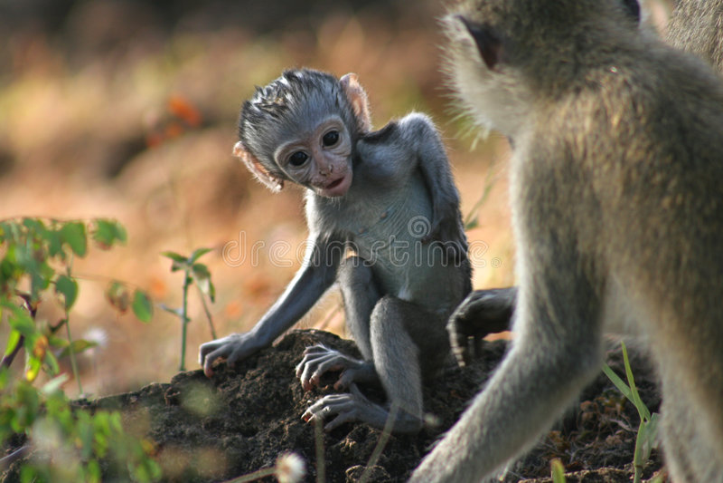 猴子vervet 图库摄影