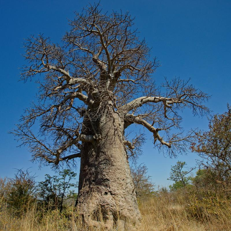 猴面包树大结构树 免版税库存照片