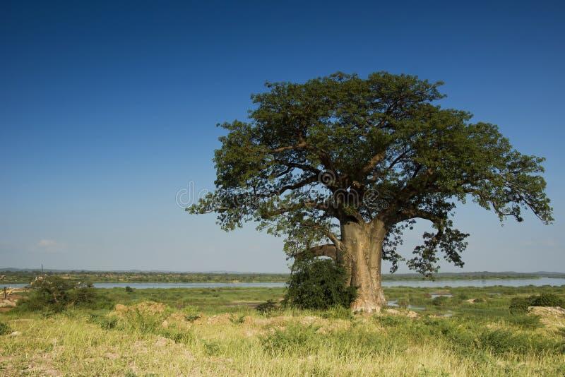 猴面包树构成的正确的河结构树赞比西河 免版税库存图片