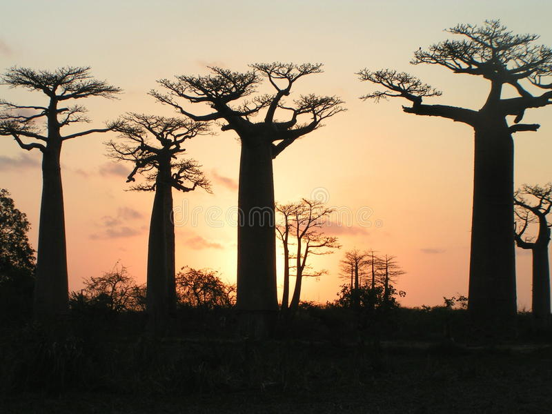 猴面包树grandidiers 库存图片