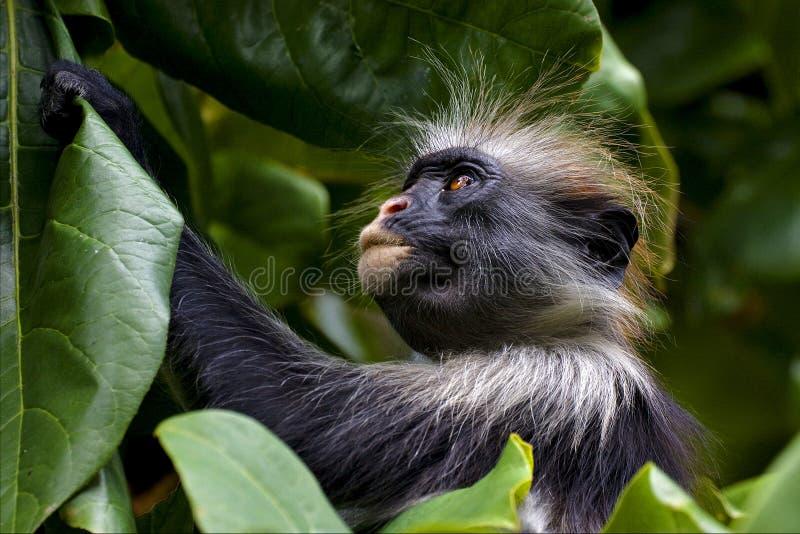 猿在jozany森林里 库存照片