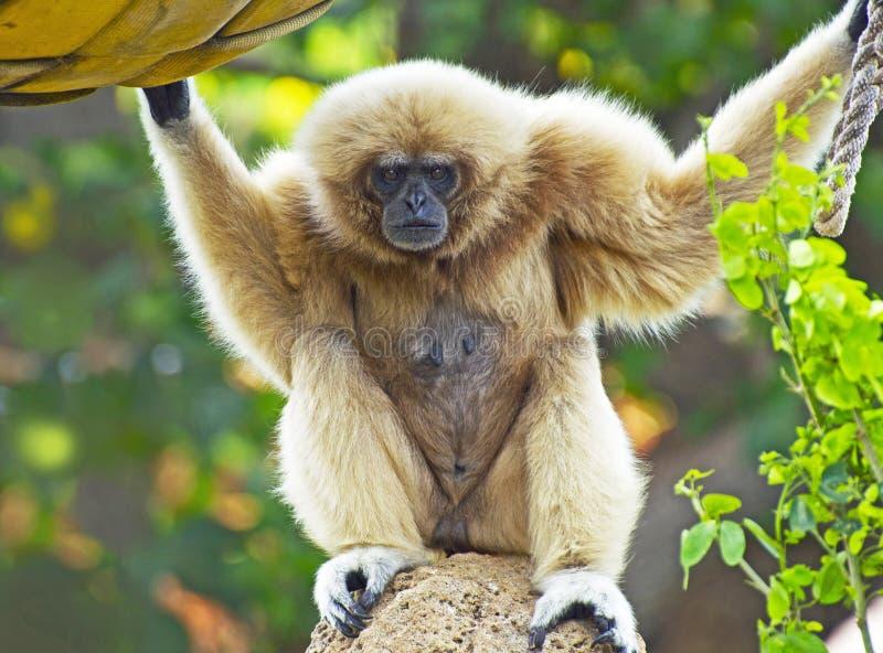 猿长臂猿递了白色 免版税库存照片