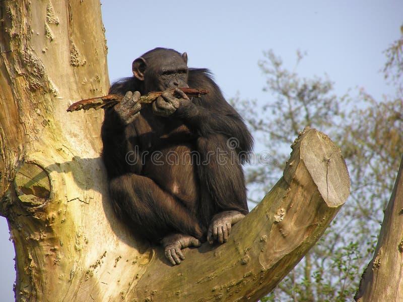 猿 库存照片