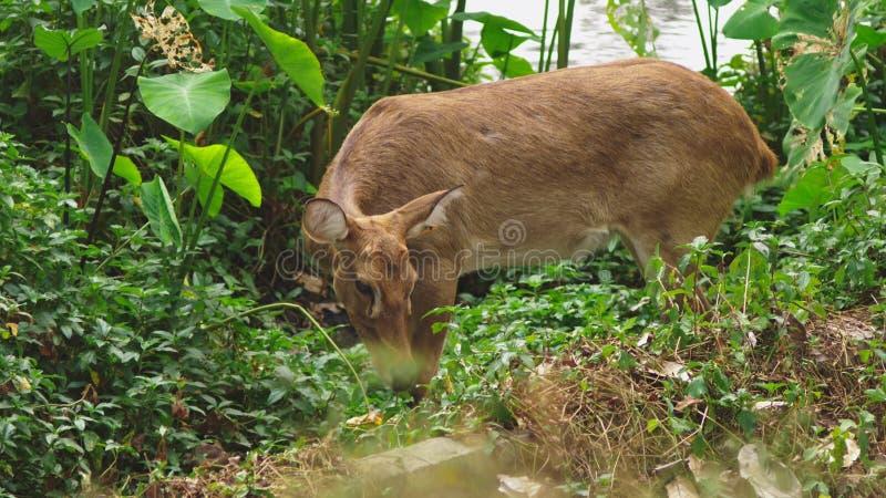 獐鹿在森林里吃草,狍属 野生狍本质上 特写镜头 免版税库存图片