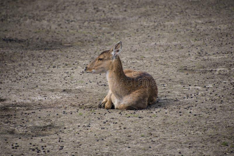 獐鹿坐 ?? 野生狍本质上 r 免版税图库摄影