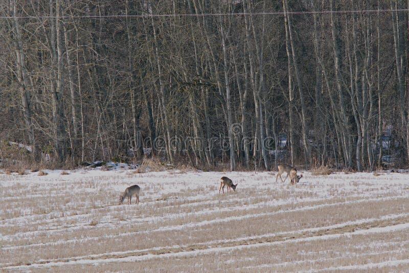 獐鹿鹿 免版税库存照片