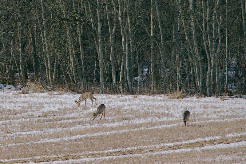 獐鹿鹿 免版税图库摄影