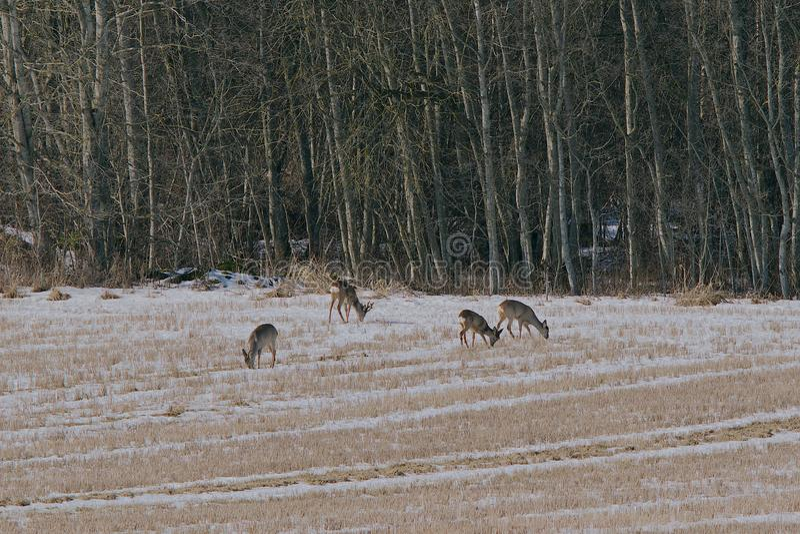 獐鹿鹿 库存照片
