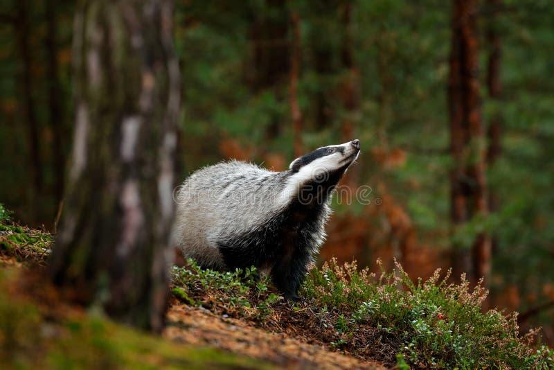 獾在森林,兽性栖所,德国,欧洲里 野生生物场面 野生獾,獾属獾属,在木头的动物 欧洲徽章 免版税库存照片