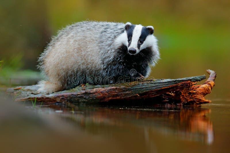 獾在湖水,兽性栖所,德国,欧洲中 野生生物场面 野生獾,獾属獾属,在木头的动物 欧洲b 免版税库存图片