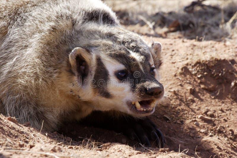 獾 免版税库存照片