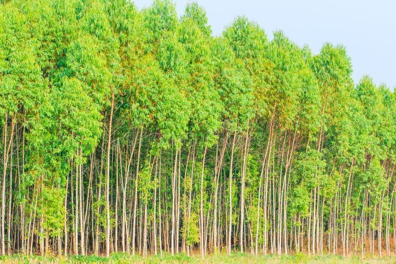 玉树森林 免版税库存图片