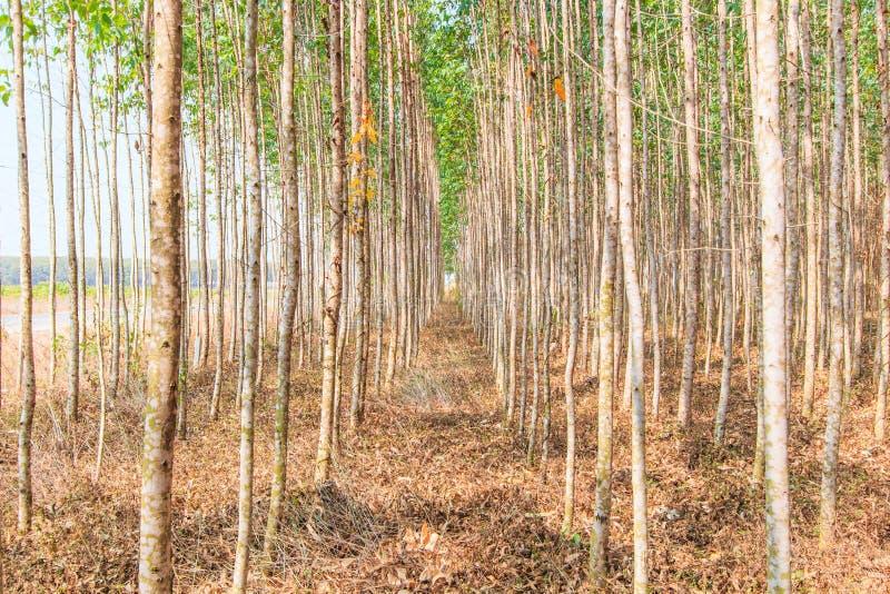 玉树森林 图库摄影