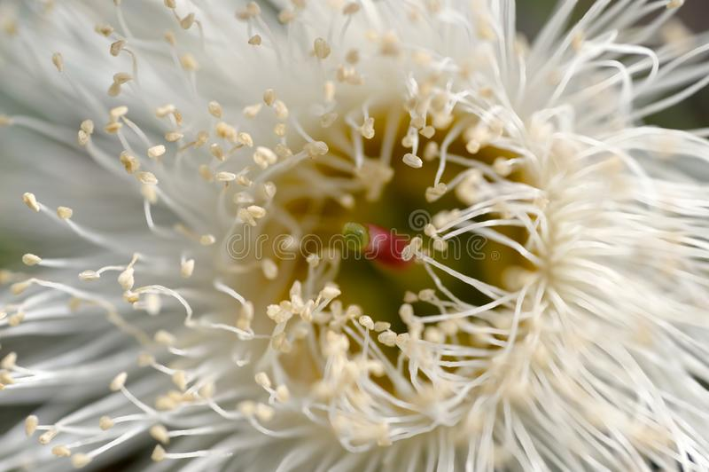 玉树雄芯花蕊的一个宏观看法 免版税库存照片