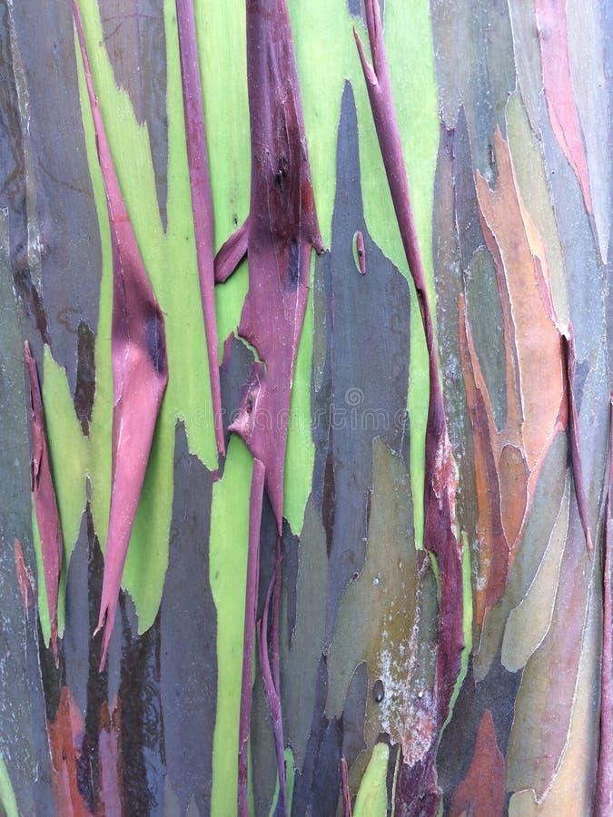 玉树Deglupta彩虹生长在考艾岛海岛上的玉树在夏威夷 免版税库存图片