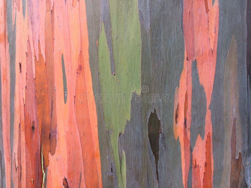 玉树Deglupta彩虹生长在考艾岛海岛上的玉树在夏威夷 免版税库存照片