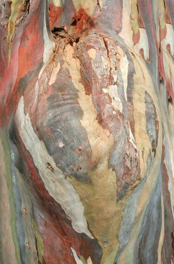 玉树deglupta树皮 库存图片