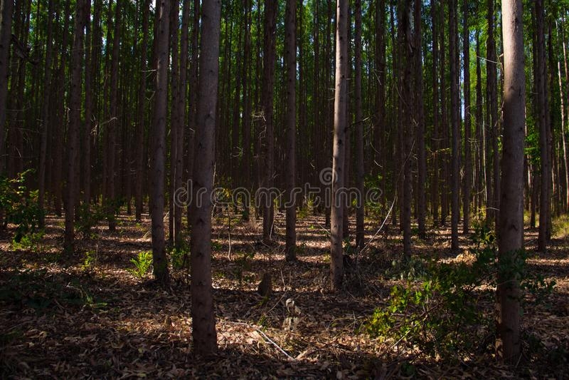 玉树plantantion在Três玛丽亚斯,米纳斯吉拉斯州 图库摄影
