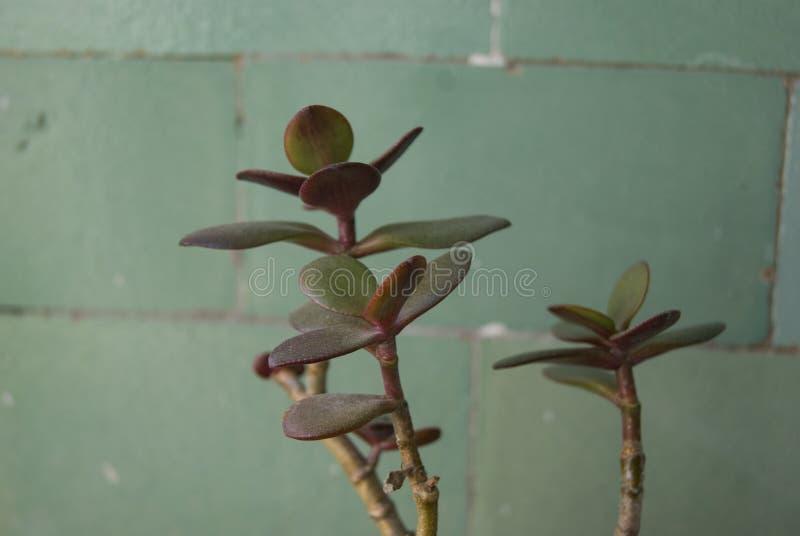 玉植物特写镜头 库存图片