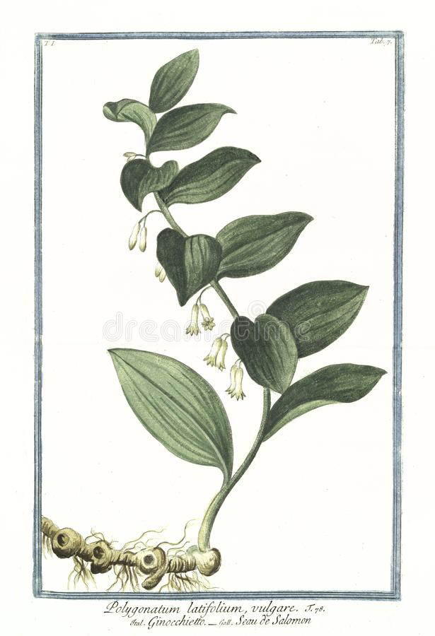玉竹latifolium vulgare植物的老植物的例证 免版税图库摄影