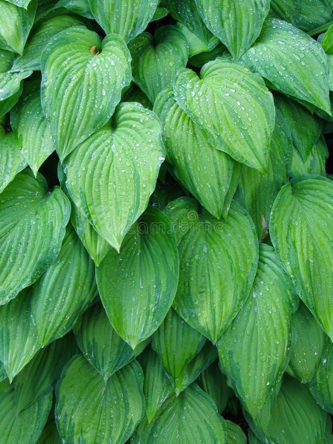 玉簪属植物叶子 库存照片