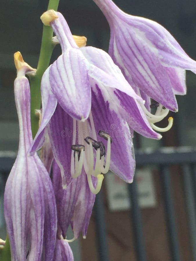 玉簪属植物花 库存图片
