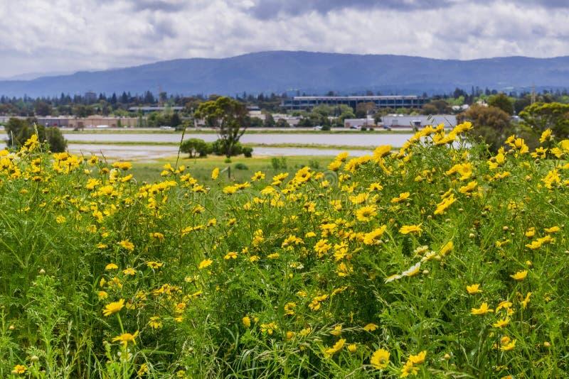 玉米万寿菊开花在领域的Glebionis segetum 免版税库存图片