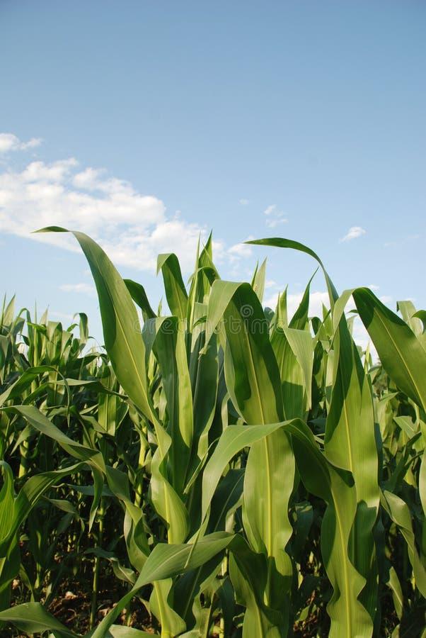 玉米上面 库存图片