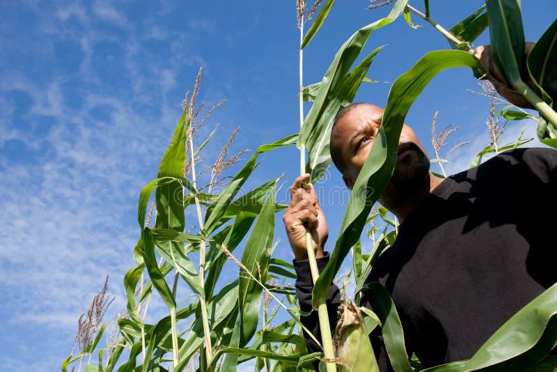 玉米启动程序 免版税库存图片