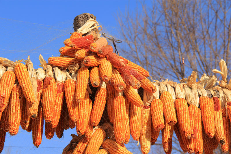 玉米和收获 免版税库存照片