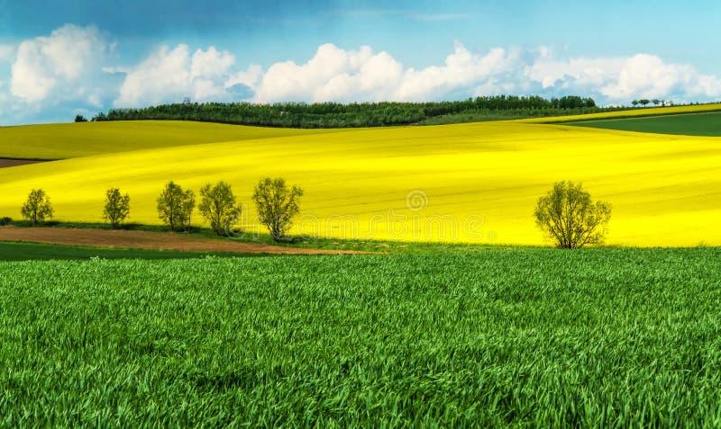 玉米和油菜籽领域在春天 库存照片