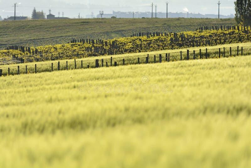 玉米和藤在博若莱红葡萄酒,伯根地,法国 库存图片