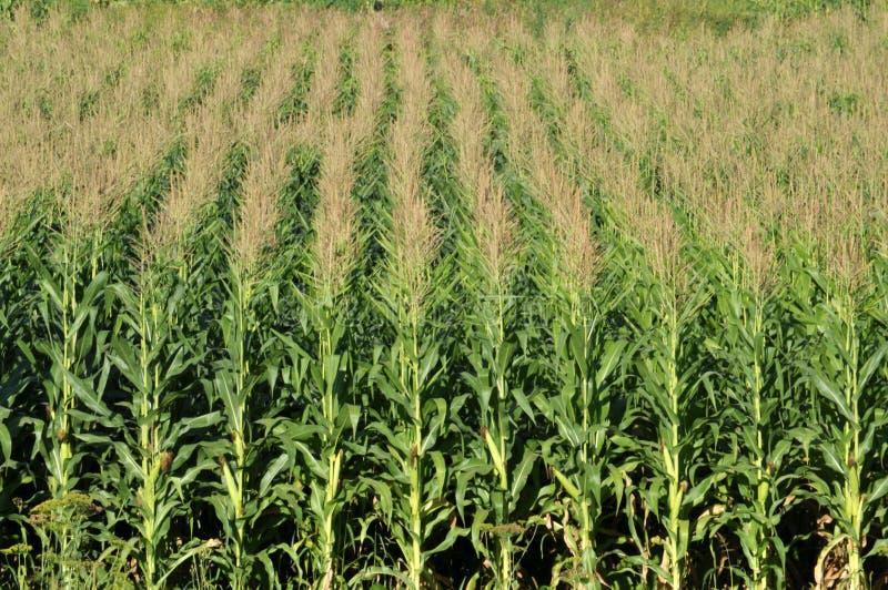 玉米在田里生长 库存照片