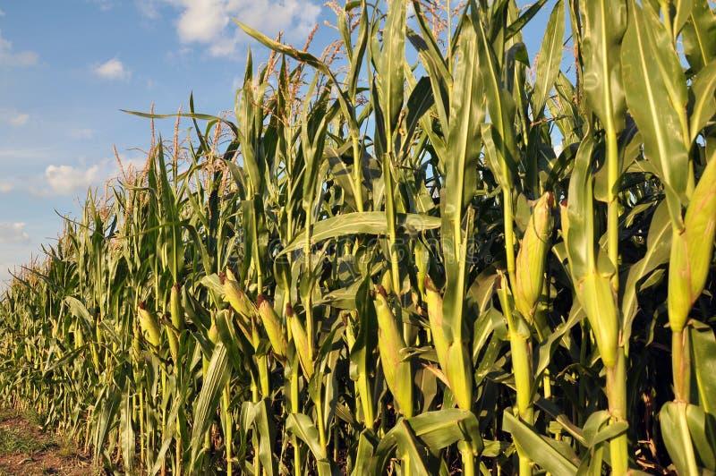 玉米在田里生长 免版税库存照片