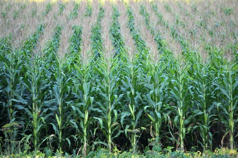 玉米在田里生长 库存图片