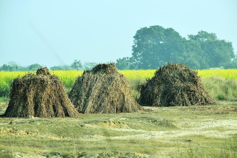 玉米在芥末农场附近被烘干的词根小丘 免版税库存照片