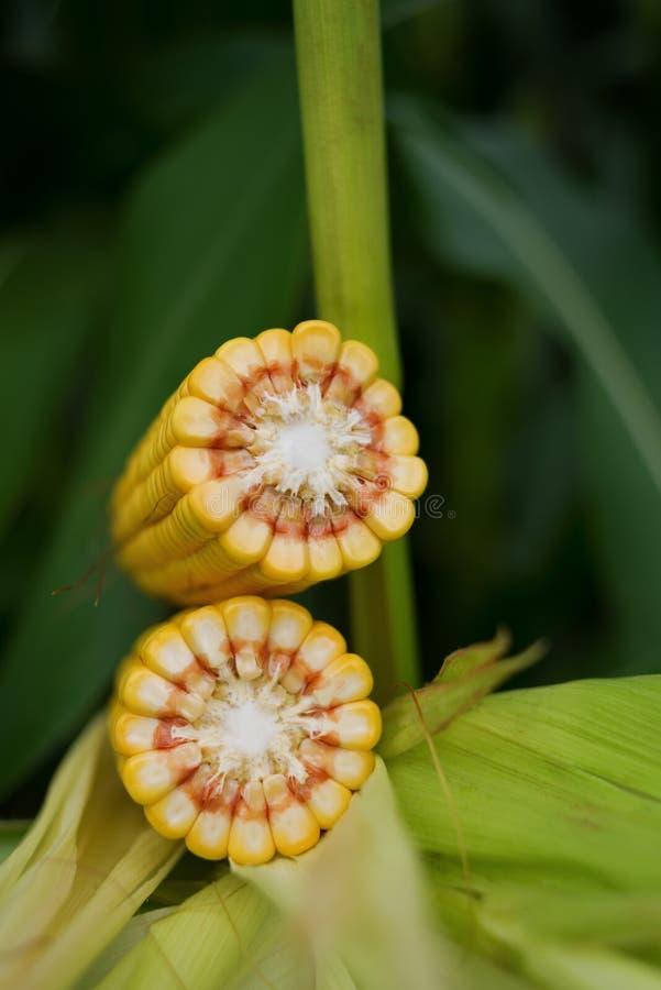 玉米在茎的玉米棒子在领域 库存照片