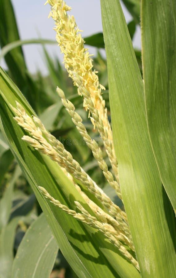 玉米在领域的茎开花 免版税图库摄影