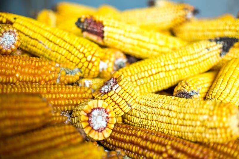 玉米堆干燥 库存图片