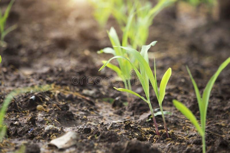 玉米幼木增长 免版税图库摄影